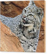 Bobcat With A Smile Wood Print