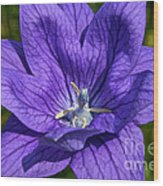 Bodacious Balloon Flower Wood Print