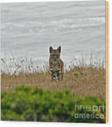 Bodega Bay Bobcat Wood Print by Mitch Shindelbower
