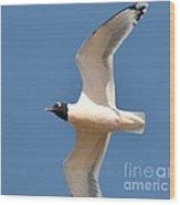Bonapate Gull In Flight Wood Print