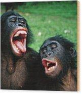 Bonobo Pan Paniscus Juvenile Pair Wood Print