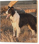 Border Collie At Sunset Wood Print