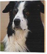 Border Collie Dog Wood Print
