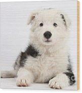 Border Collie Female Puppy Wood Print