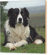 Border Collie Wood Print by Miguel Capelo