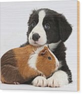 Border Collie Pup And Tricolor Guinea Wood Print