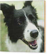 Border Collie Sitting On Grass,close-up Wood Print by Stockbyte