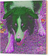 Border Collie Stare In Colors Wood Print by Smilin Eyes  Treasures
