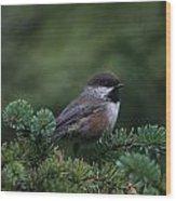 Boreal Chickadee Wood Print