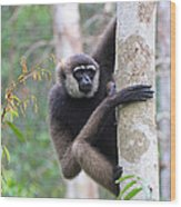 Bornean White-bearded Gibbon Wood Print
