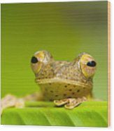 Borneo Red Flying Frog (rhacophorus Pardalis), Danum Valley, Primary Forest, Sabah, Borneo, Malaysia Wood Print