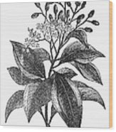 Botany: Cinnamon Tree Wood Print