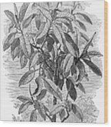 Botany: Ficus Elastica Wood Print