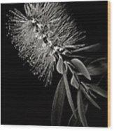 Bottlebrush In Black And White Wood Print