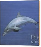 Bottlenose Dolphin Wood Print