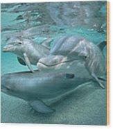 Bottlenose Dolphin Underwater Trio Wood Print