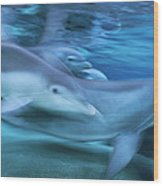 Bottlenose Dolphins Swimming Hawaii Wood Print