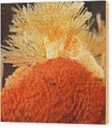 Bowerbanks Halichondria & Spiral-tufted Wood Print