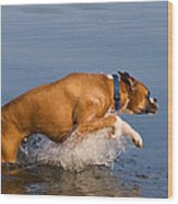 Boxer Playing In Water Wood Print