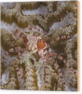 Boxing Crab In Raja Ampat, Indonesia Wood Print