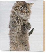 Boxing Kitten Wood Print
