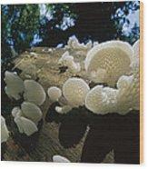 Bracket Fungus Favolus Brasiliensis Wood Print