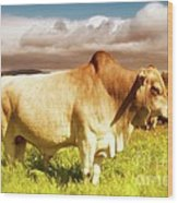 Brahma Bull And Harem Wood Print by Gus McCrea