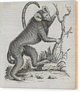 Brazilian Marmoset, 18th Century Wood Print