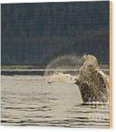 Breaching Humpback Wood Print