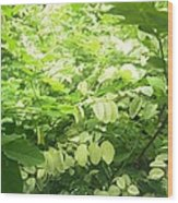 Breynia Disticha 'roseopicta' Wood Print