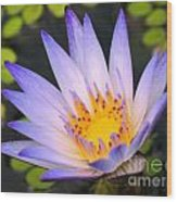 Bright Blue Water Lily Wood Print