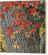 Bright Red Maple Leaves Against An Oak Wood Print by Tim Laman