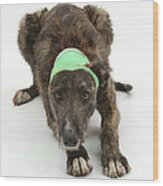 Brindle Lurcher Wearing A Bandage Wood Print