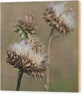 Bristle Thistle - Carduus Nutans Wood Print