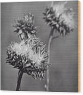 Bristle Thistle In Black And White Wood Print