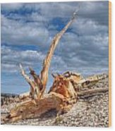 Bristlecone Pine In Repose Wood Print