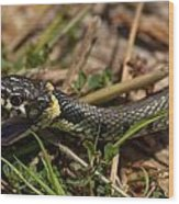 British Grass Snake Wood Print
