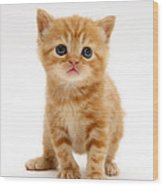 British Shorthair Red Tabby Kitten Wood Print