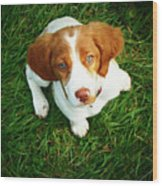 Brittany Spaniel Puppy Wood Print by Meredith Winn Photography