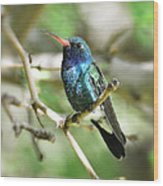 Broad-billed Hummingbird  Wood Print