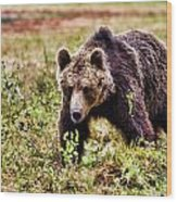 Brown Bear 210 Wood Print