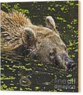 Brown Bear Swimming Wood Print