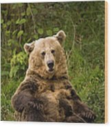 Brown Bear Ursus Arctos, Asturias, Spain Wood Print