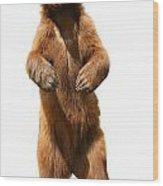 Brown Bear Ursus Arctos Wood Print