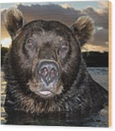 Brown Bear Ursus Arctos In River Wood Print