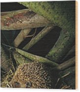 Brown-breasted Hedgehog Erinaceus Wood Print