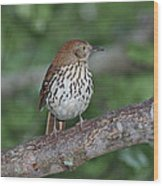 Brown Thrasher Wood Print by Gregory Scott