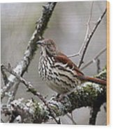 Brown Thrasher - Spot Wood Print