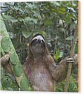 Brown Throated Three Toed Sloth Male Wood Print