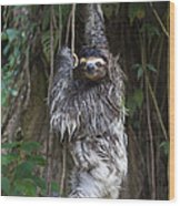 Brown Throated Three Toed Sloth Mother Wood Print